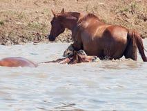 阿拉伯母马在自由的湖。 库存照片