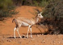 阿拉伯沙子瞪羚-濒于灭绝的物种 库存图片