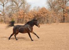阿拉伯海湾美丽的黑暗的疾驰的马 免版税库存图片