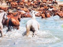 阿拉伯牧群在湖。 免版税图库摄影