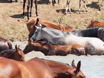 阿拉伯牧群在湖。 免版税库存图片
