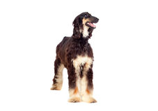 阿拉伯狗猎犬 免版税库存照片