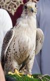 阿拉伯猎鹰 免版税图库摄影