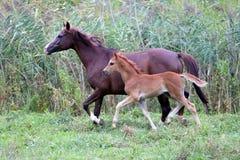 阿拉伯疾驰在牧场地的母马和她的驹 库存图片