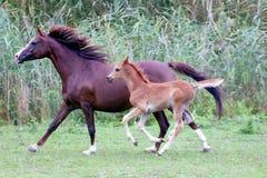 阿拉伯疾驰在牧场地的母马和她的驹 免版税库存照片