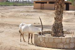 阿拉伯美丽的吃食物羚羊属 库存图片