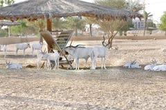 阿拉伯美好的弯曲的垫铁羚羊属白色 库存照片