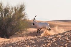 阿拉伯羚羊属在日出以后的沙漠 迪拜,阿拉伯联合酋长国 免版税库存图片