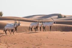 阿拉伯羚羊属在日出以后的沙漠 迪拜,阿拉伯联合酋长国 库存图片
