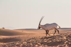 阿拉伯羚羊属在日出以后的沙漠 迪拜,阿拉伯联合酋长国 免版税库存照片