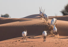 阿拉伯羚羊属在日出以后的沙漠 迪拜,阿拉伯联合酋长国 图库摄影