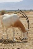 阿拉伯羚羊属在沙漠 免版税图库摄影