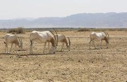 阿拉伯羚羊属在沙漠 图库摄影
