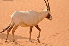 阿拉伯羚羊属 免版税库存照片