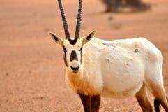 阿拉伯羚羊属 库存照片