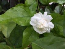 阿拉伯茉莉花,白色开花的茉莉花 免版税库存照片