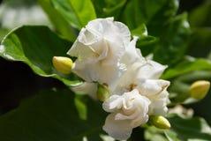 阿拉伯茉莉花, Jasminum在树的sambac花 免版税图库摄影