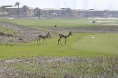 阿拉伯阿拉伯咖啡羚羊属瞪羚 库存照片