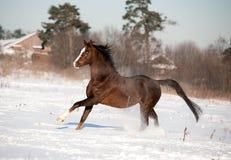 阿拉伯马奔跑在冬天 免版税库存图片