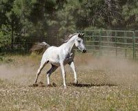 阿拉伯马疾驰自由在牧场地 免版税库存照片