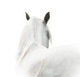 阿拉伯马白色 免版税图库摄影