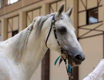阿拉伯马 灰色公马画象在槽枥 库存照片