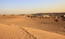 阿拉伯骆驼牧群 免版税库存图片