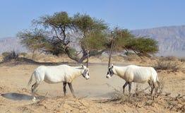 阿拉伯leucoryx羚羊属 库存图片