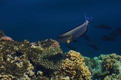 阿拉伯sohal外科医生鱼在自然环境里,红海 库存图片