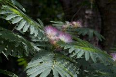 阿拉巴马柔滑的含羞草结构树开花 免版税库存图片