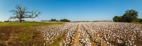 阿拉巴马棉花领域 库存照片