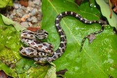 阿拉巴马elaphe灰色obsoleta吃鼠的蛇 图库摄影