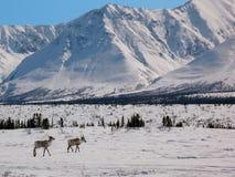 阿拉斯加北极清楚的北美驯鹿通过范& 免版税图库摄影