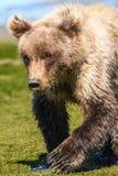 阿拉斯加小棕熊走在水附近的Cub 库存图片