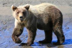 阿拉斯加小棕熊Cub走的姿势 库存图片