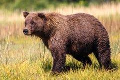 阿拉斯加巨大的布朗北美灰熊在金黄草甸 免版税库存照片