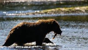 阿拉斯加布朗与三文鱼的北美灰熊剪影 免版税库存图片