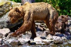 阿拉斯加布朗与Cub的北美灰熊 免版税库存照片