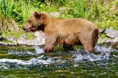 阿拉斯加布朗北美灰熊三文鱼飞溅 库存照片