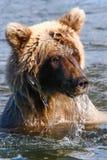 阿拉斯加布朗北美灰熊在水中 免版税库存图片