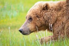 阿拉斯加布朗北美灰熊在Katmai 库存照片
