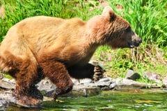阿拉斯加布朗北美灰熊捕鱼飞跃 库存照片