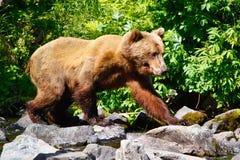 阿拉斯加布朗北美灰熊走 免版税库存图片