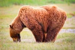 阿拉斯加布朗北美灰熊身分和吃 免版税图库摄影