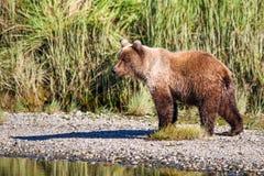 阿拉斯加布朗北美灰熊银色三文鱼小河 库存图片