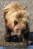 阿拉斯加布朗北美灰熊饮用水 免版税库存照片