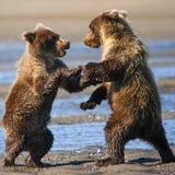 阿拉斯加布朗北美灰熊Cub战斗 免版税库存图片