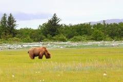 阿拉斯加布朗吃在草甸的北美灰熊 免版税库存图片