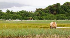 阿拉斯加布朗吃草在草甸的北美灰熊 免版税图库摄影