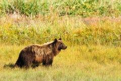 阿拉斯加布朗在金黄领域的北美灰熊 免版税库存照片